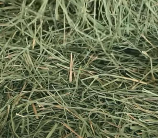 Can a rabbit eat Orchard grass?
