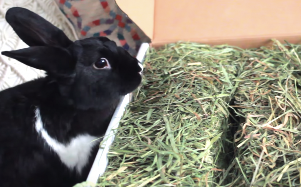 Can a rabbit eat Timothy hay?