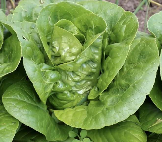 Can a rabbit eat butterhead lettuce?