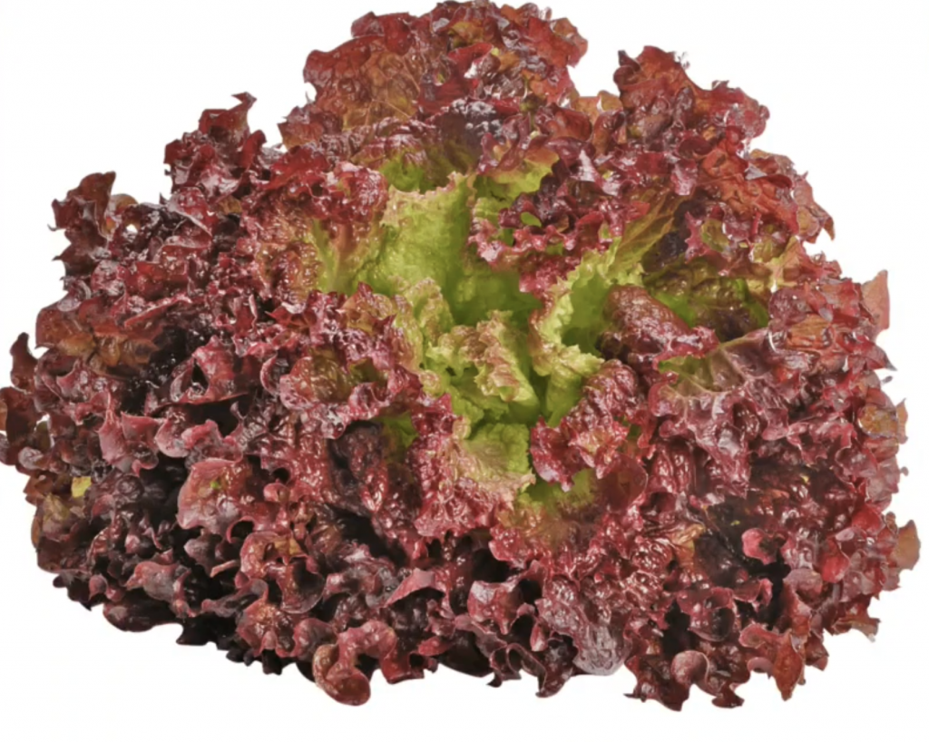 Can a rabbit eat red leaf lettuce?