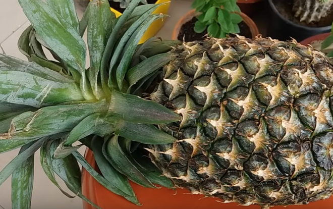 Can a rabbit eat pineapple?