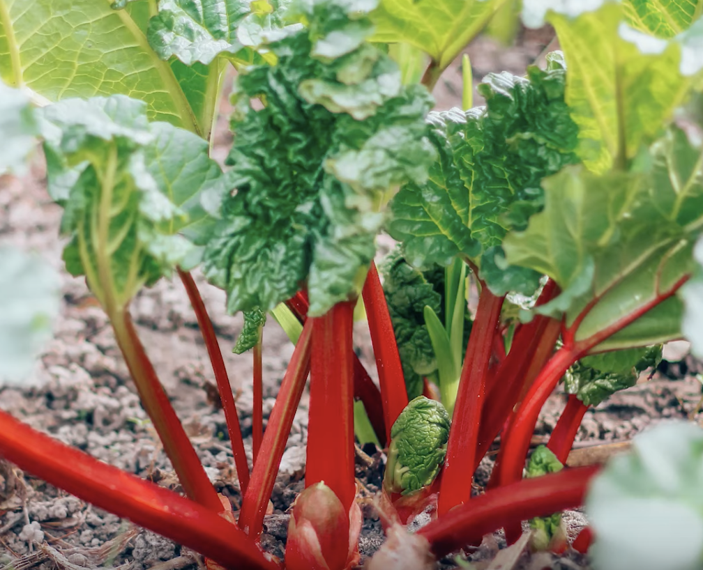 Can a rabbit eat rhubarb?