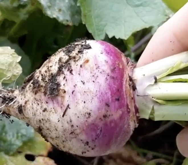 Can a rabbit eat turnips?