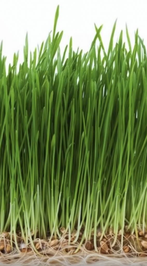 Can a rabbit eat wheatgrass?