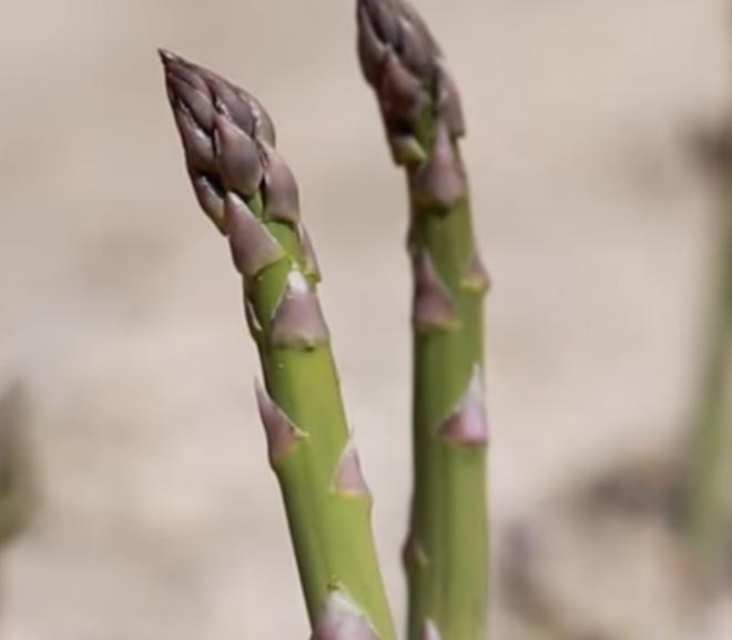 Can a rabbit eat asparagus?